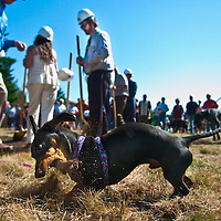 Dachshund Sam Shackleton wasted no time lending a fang and claw to the Southwestern Washington Humane Society Groundbreaking ceremony in Vancouver, September 10, 2008.