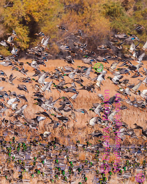 Large flock of ducks, mostly mallards, landing on water pool in flooded field, Middle Rio Grande Valley, NM, © David A. Ponton