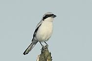 Southern Grey Shrike - Lanius meridionalis