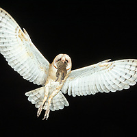 Tyto alba, south Texas