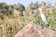 Cattle Egret (Bubulcus ibis) in non breeding plumage Photographed in the Hula Valley, Israel in November