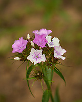 Sweet William flowers. Image taken with a Leica TL-2 camera and 55-135 mm lens.