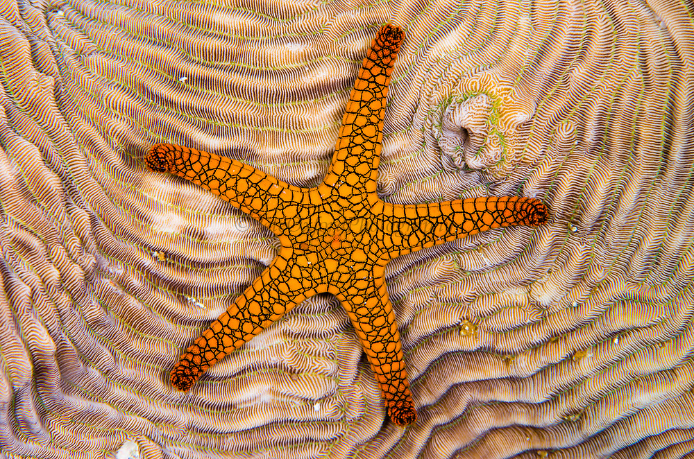Indian Sea Star (Fromia indica)<br /> Raja Ampat<br /> West Papua<br /> Indonesia