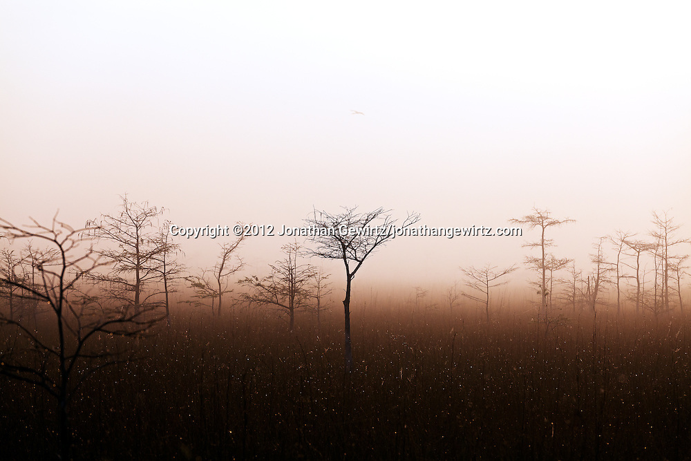 A bird flies over a grove of dwarf cypress trees on a foggy morning in Everglades National Park, Florida. WATERMARKS WILL NOT APPEAR ON PRINTS OR LICENSED IMAGES.<br /> <br /> Licensing: https://tandemstock.com/assets/80418800