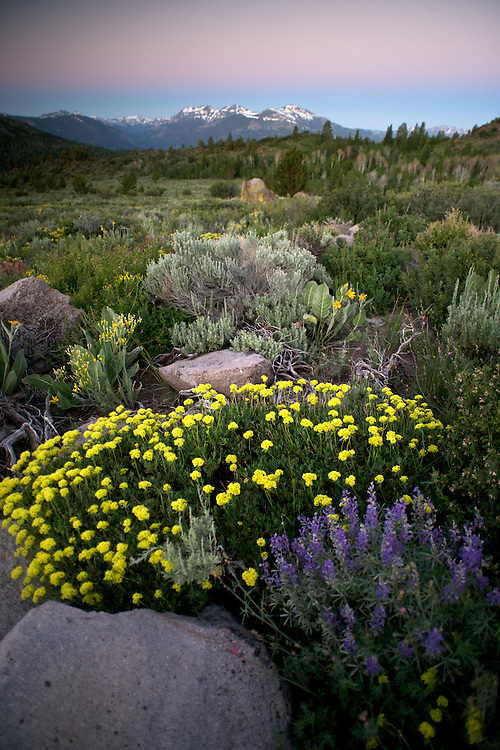 A heavy winter snowpack has melted beneath the Sierra sky and given way to streams dancing with runoff, creating an abundance of wildflowers. Here Lupine and Sulphur Buckwheat adorn a high pass in the Eastern Sierra.