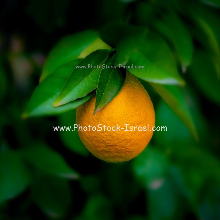 Ripe orange on a tree before picking