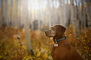 SHOT 10/1/12 5:03:21 PM - Tanner, an eight year-old male Vizsla, scans the woods for critters as aspen trees change colors along Kebler Pass just outside of Crested Butte, Co. Populus tremuloides, the Quaking Aspen or Trembling Aspen, is a deciduous tree native to cooler areas of North America and is generally found at 5,000-12,000 feet. The name references the quaking or trembling of the leaves that occurs in even a slight breeze due to the flattened petioles. It propagates itself by both seed and root sprouts, and extensive clonal colonies are common. Each colony is its own clone, and all trees in the clone have identical characteristics and share a root structure. (Photo by Marc Piscotty / © 2012)