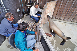 Cognition Testing Of Sea Lions