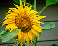 Sunflower. Image taken with a Fuji X-T2 camera and 100-400 mm OIS lens