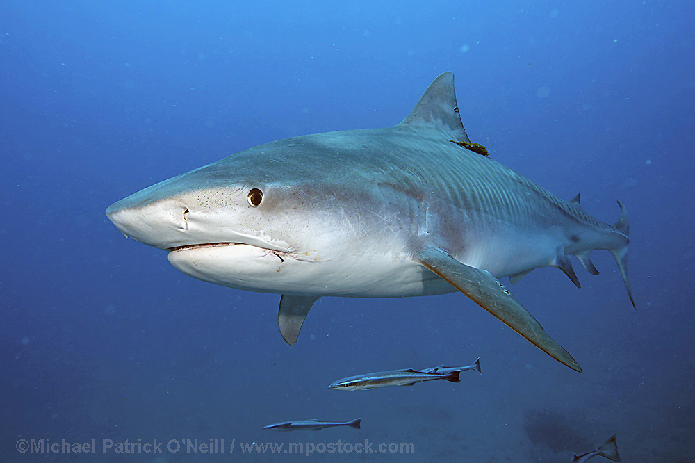 A Tiger Shark, Galeocerdo cuvier, swims offshore Jupiter, Florida, USA, in Federal waters during a shark dive.
