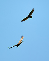 Turkey Vulture. Sourland Mountain Preserve. Image taken with a Nikon D3s camera and 80-400 mm VR lens.