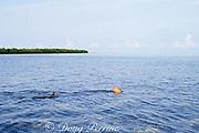 lemon shark, Negaprion brevirostris, female swimming through shallow lagoon after giving birth, Bimini, Bahamas ( Western Atlantic Ocean )