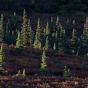 Denali National Park, Tiaga forest and tundra. Autumn. Alaska.