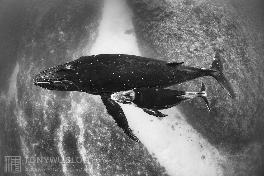 Humpback whale (Megaptera novaeangliae) female with her male calf, swimming over a shallow coral reef outside Hunga island in Vava'u, Tonga.