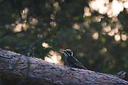 Three-toed Woodpecker (Picoides tridactylus) on fallen pine tree in evening, Gauja National Park (Gaujas Nacionālais parks), Latvia Ⓒ Davis Ulands | davisulands.com