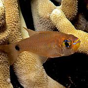 Orangelined Cardinalfish inhabit reefs. Picture taken Palau.