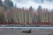 More than a dozen bald eagles (Haliaeetus leucocephalus) rest on logs or in trees along the Nooksack River near Deming, Washington.