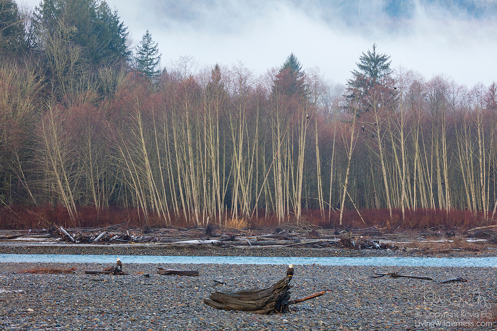 More than a dozen bald eagles (Haliaeetus leucocephalus) rest on logs or in trees along the Nooksack River near Deming, Washington.