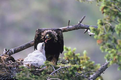 Golden Eagle, (Aquila chrysaetos) Adult with chicks feeding. Southwest, Montana.