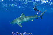 underwater photographer and tiger shark ( Galeocerdo cuvier ) North Shore, Oahu, Hawaii, USA ( Central Pacific Ocean ) MR 389