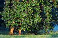 Oak Trees (Quercus) in the Morning Light, Mullerthal trail, Mullerthal, Luxembourg