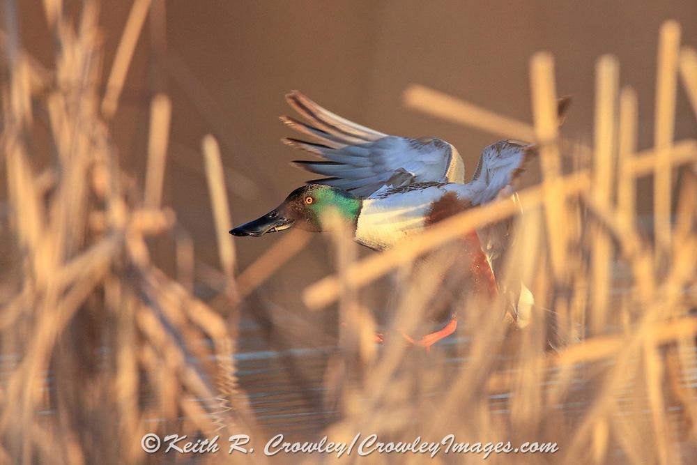 Shoveler drake (Spoonbill) landing.