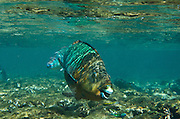 Blue Parrotfish (Scarus coeruleus)<br /> BONAIRE, Netherlands Antilles, Caribbean<br /> HABITAT & DISTRIBUTION: Over sand or reefs<br /> Florida, Bahamas, Caribbean, north to Maryland & Bermuda