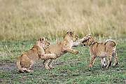 three Lion cubs play fight