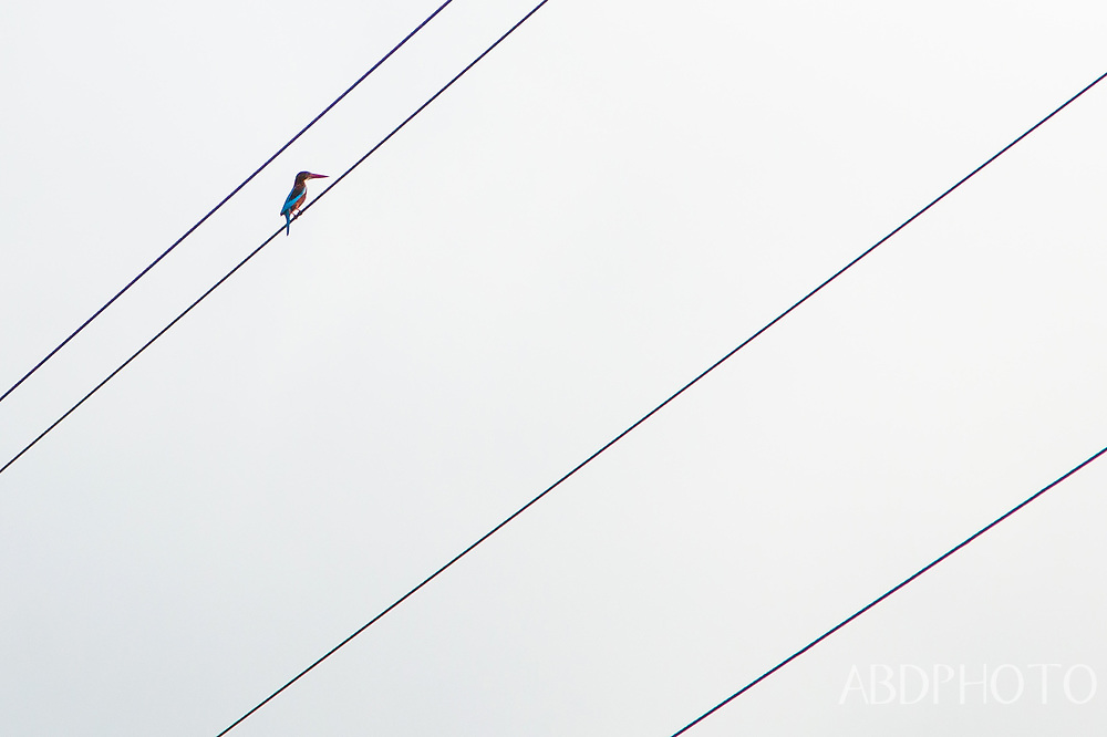 Kingfisher on wires in Ca Mau Mekong Delta Vietnam