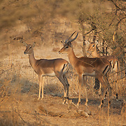 Impala at sunrise. Mapungubwe National Park and World Heritage Site, South Africa, September 2009, Organization for Tropical Studies Trip.