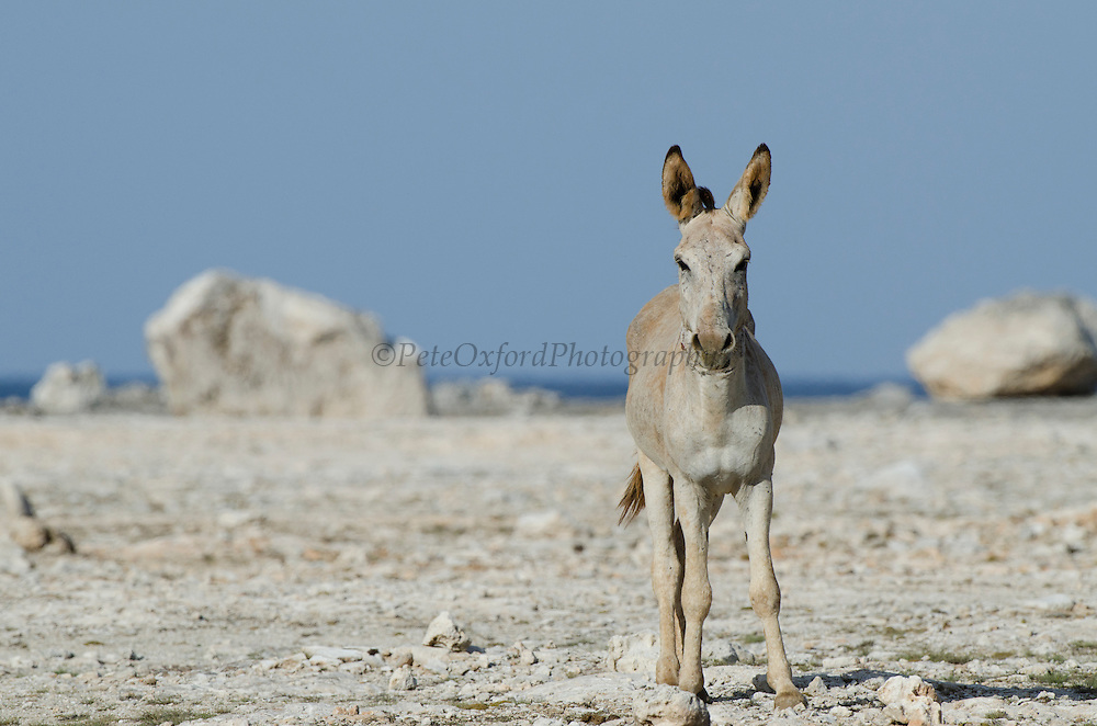 Feral Donkey or Ass (Equus africanus asinus) in Cactus scrub eco-system<br /> BONAIRE, Netherlands Antilles, Caribbean<br /> Brought to the islands as pack animals in the 1800's now they are feral.