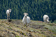Dall sheep (Ovis dalli, or thinhorn sheep) on Tachal Dahl (Sheep Mountain) Ridge, St. Elias Mountains, in Kluane National Park and Reserve, Yukon, Canada. Hike Sheep Creek trail (10-15 km with 500-1200 m gain) for spectacular views of the Slims River Valley and surrounding mountains, plus Kluane Lake seen from Soldier's Summit on Tachal Dahl (Sheep Mountain) Ridge.