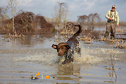 Chocolate Labrador retriever and hunter in southern U.S. habitat.