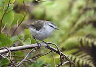 Chatham Islands Warbler - Gerygone albofrontata