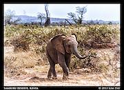 Juvenile Elephant<br /> Samburu National Reserve, Kenya<br /> September 2012