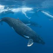 A heat run of humpback whales (Megaptera novaeangliae) comprising five adult whales, four males and a female. The males are in competition for the attention of the female, which is the whale with lots of white on her body, on the right side of the photo. Photographed in Vava'u, Kingdom of Tonga.