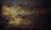 An Ornithomimus speci men from Dinosaur Provincial Park in Alberta Canada.  When the dinosaur die their neck is pulled back by neck tendons drying in the sun.