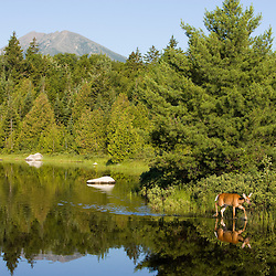 A whitetail deer doe, Odocoileus virginianus, in Katahdin Lake in Maine's Baxter State Park.  Mount Katahdin.