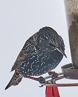 European Starling (Sturnus vulgaris). Image taken with a Leica SL2 camera and 90-280 mm lens.