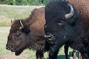 Buffalos, South Dakota, USA