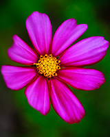 Cosmos flower. Image taken with a Fuji X-T3 camera and 80 mm f/2.8 OIS macro lens (ISO 160, 80 mm, f/5.6, 1/160 sec).