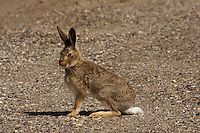 There are White-tailed Jackrabbits all over the place on the prairies and sometimes you can see them every day, while other times you rarely see them.  I haven't seen any in a couple of weeks and then all of a sudden this week several juvenile animals appeared.  They are clearly this years babies, but I never saw them at all when they really were babies.  Too bad...©2009, Sean Phillips.http://www.Sean-Phillips.com