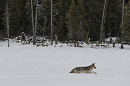 It was a snowy winter in 2019 in Yellowstone. This coyote moves through deep snow as it searches for a meal.