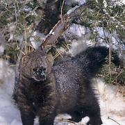 Fisher, (Martes pennanti) Montana. In snow, winter.  Captive Animal.