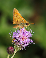 Tiny Butterfly On A Purple Flower, Skipper, Family Hesperiidae