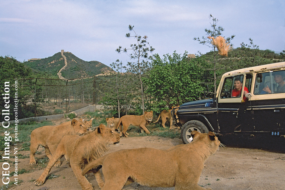 In a raw spectacle that visitors to Badaling Safari World are unlikely to forget, park rangers toss live chickens to lions at feeding time. Beijing, China