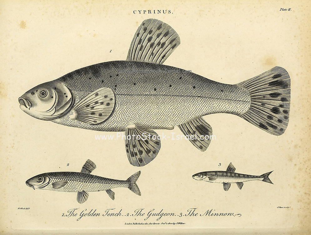 Cyprinus 1. Golden Tench [Tinca tinca] 2. Gudgeon 3. Minnon Copperplate engraving From the Encyclopaedia Londinensis or, Universal dictionary of arts, sciences, and literature; Volume V;  Edited by Wilkes, John. Published in London in 1810