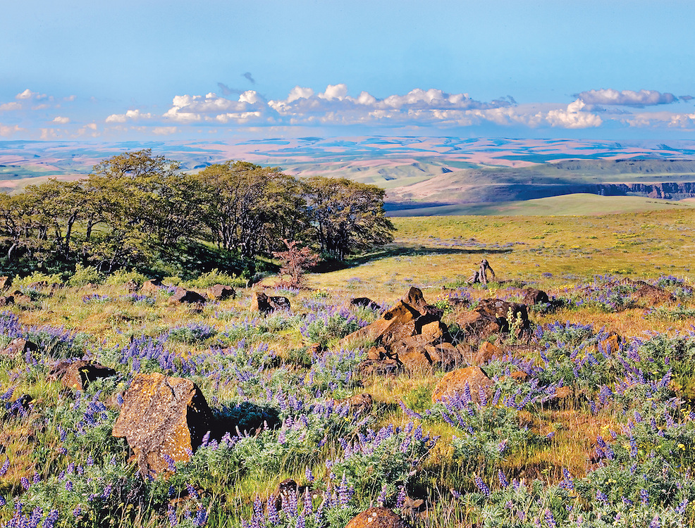 Blooming Lupines, Volcanic Basalt Rocks, and Oak Grove in Columbia Hills Preserve, Columbia River Gorge, Washingto State