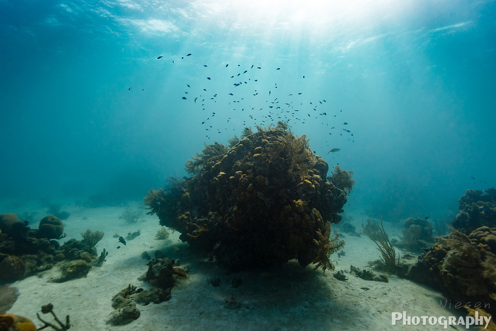 Massive coral head rising up from sandy ocean bottom with school of anthias fish circling