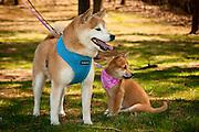 An adult Akita stands next to an Akita puppy.
